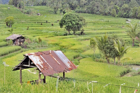 terracing: Ricefields at Tincep, Manado, North Sulawesi Stock Photo