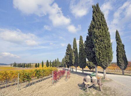 Treelined cypress road through tuscan vineyard in fall Stock Photo - 11532247