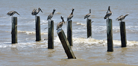 Brown pelicans preening themselves on remains of jetty Stock Photo - 24029435