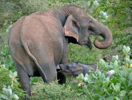 suckling: Wild indian elephant suckling calf in the bush