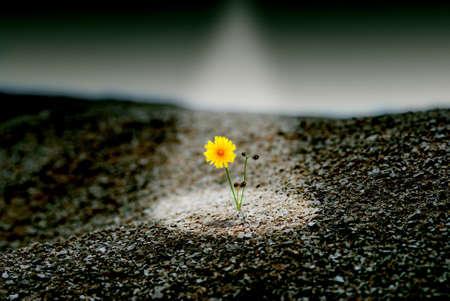 黄色のタンポポの直接光のコンセプトの石の砂漠で、最後を保存します。