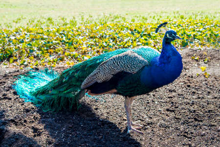 primp: Peacock with long tail in the park.