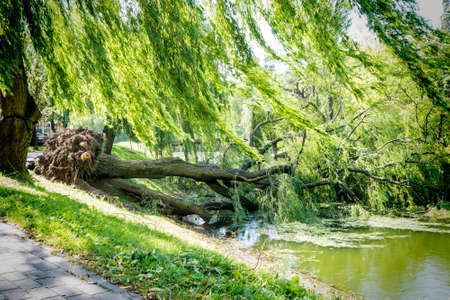 Tree uprooted after wind storm fallen into river. Stock Photo