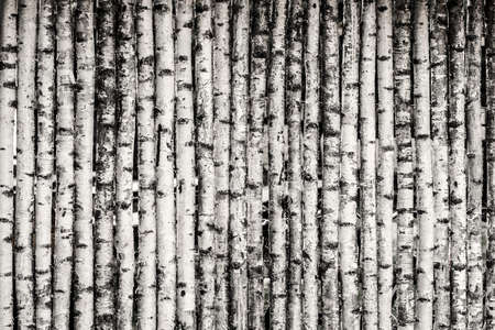 boles: Fence made of young birch trees in black and white.