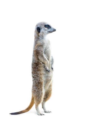 Retrato de una suricata de pie y mirando alerta aislado sobre fondo blanco.