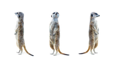 Portrait of a three meerkats standing and looking alert isolated on white background. Фото со стока