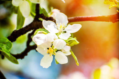 Branch of apple white spring blossom flowers. Shallow depth of field. SDF.