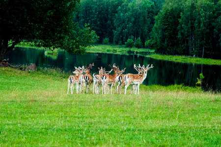 A big herd of deers standing together on a green field and watching.