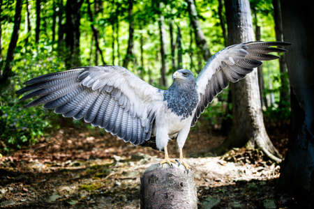 Aguja, a bird in the hawk family standing in green forest with spread wings, about to take flight. Reklamní fotografie