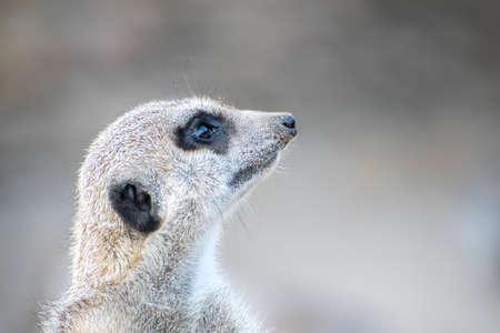Portrait of meerkat looking right. Shallow Depth of Field.
