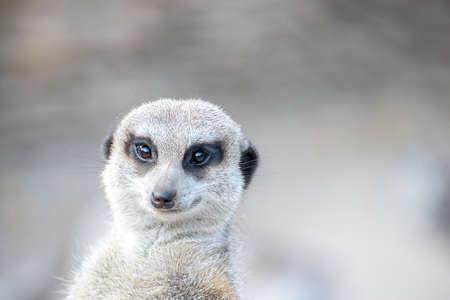 Retrato de suricata pensativa. Poca profundidad de campo. SDF.