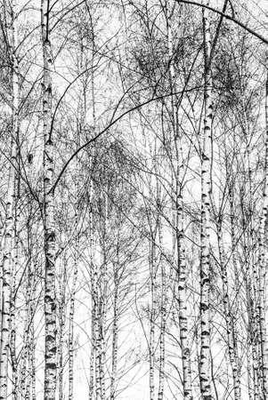 Black and white birch tree trunks.