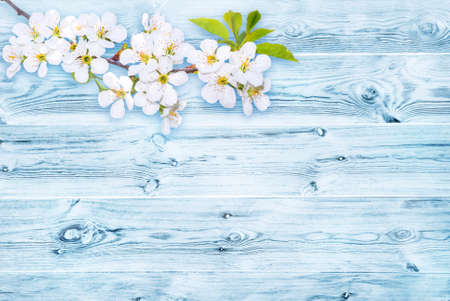 Branch of white spring blossom over old rich wood grain texture background with knots in white and blue colors.