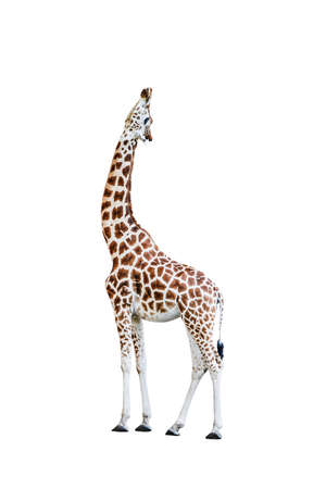 African giraffe raise head looking up, isolated on white background.