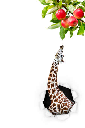 A giraffe pokes  his head through the paper hole stretching up to reach a leaf from an apple tree.