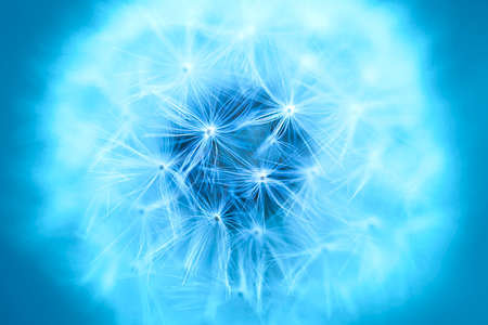 Blue abstract dandelion flower background. Macro view of seeded dandelion head. Shallow depth of field.