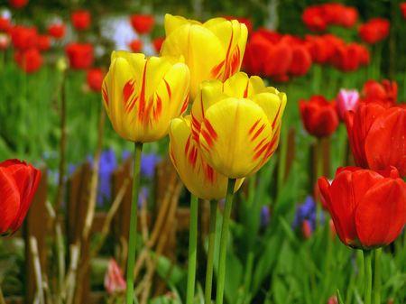 Yellowly red tulips photo