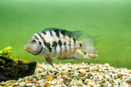 Fish convict cichlid in aquarium Stock Photo