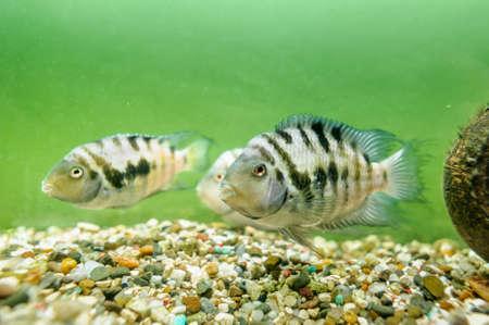 convict: Fish convict cichlid in aquarium Stock Photo