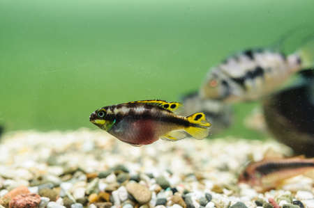brooder: Kribensis Cichlid