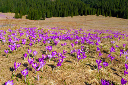 Blooming purple crocuses in the mountains.