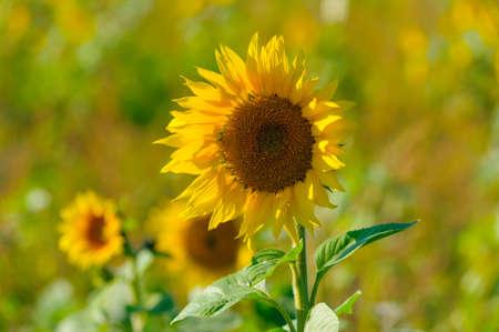 Single sunflower on a field