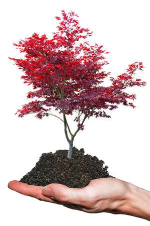 japanese maple: Tree on hand Stock Photo