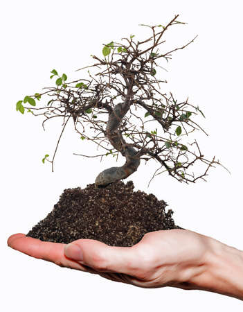 symbolically: Chinese elm, which has few leaves is held with some soil on one hand  Stock Photo