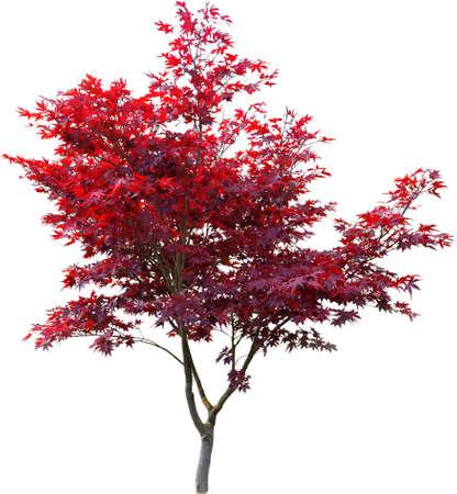 Arce japonés en blanco, con follaje de color rojo.