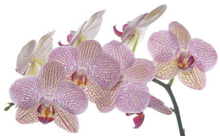 Tabby hybrid orchid pink, white on white background  photo