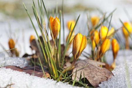 Yellow crocuses in the snow  Stock Photo - 18309864