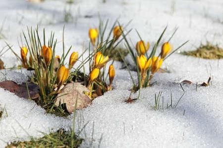 winter thaw: Yellow crocuses in the snow  Stock Photo