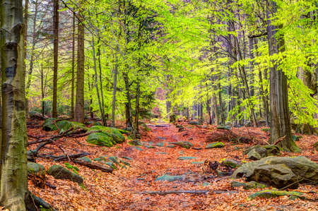 Beech forest in spring with leaves on the ground and May-green leaves on the trees photo