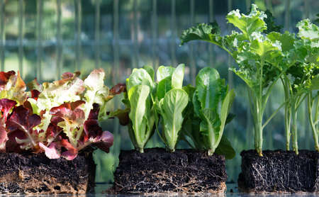 Vegetable seedlings in the greenhouse, Lettuce, lettuce hearts, kale