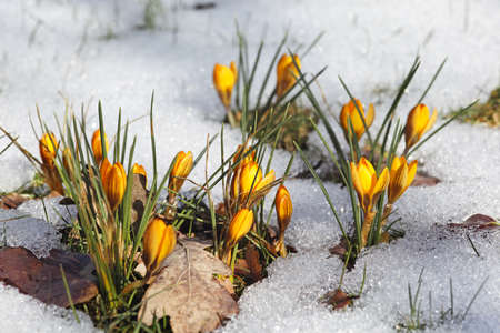 Yellow crocuses in the snow  photo