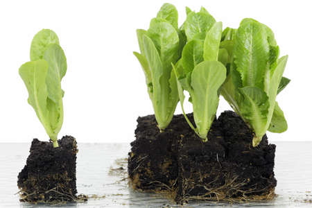 Lettuce, cabbage and lettuce hearts as, vegetable seedlings in block culture  Stock Photo