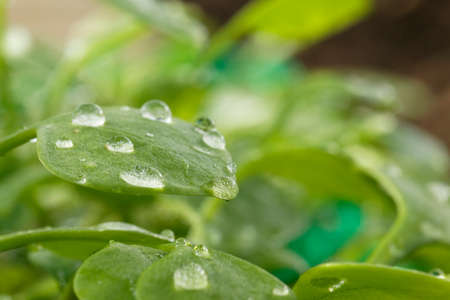 Water drops on a Winter purslane leaf  photo