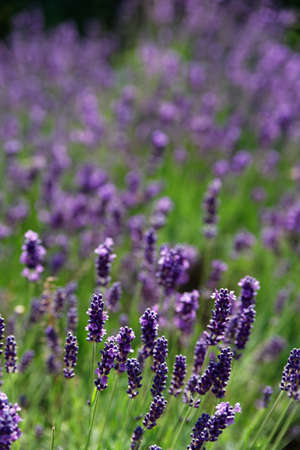 lavendin: Lavender flower in summer, purple in the typical lavender and green contrast