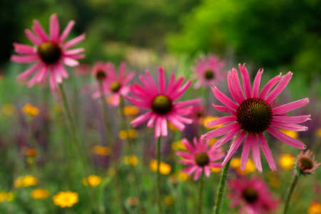 medicinal plant: Medicinal plant, coneflower, flowering, pink, purple, in a herb meadow