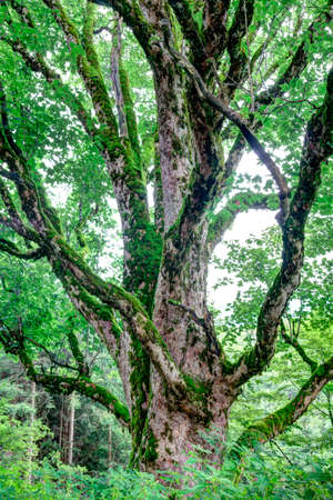exalted:  trunk of an old maple mountain in the Alps in summer.