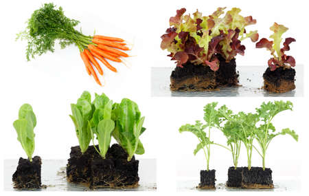Spring in the garden with vegetable seedlings and early carrots, early carrots, lettuce and cabbage seedlings seedlings.