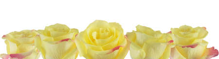 sincerely: Rose petals yellow with pink edges on white background. Stock Photo