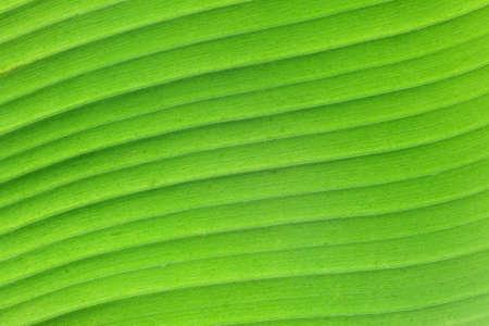 Green Curved Banana Leaf