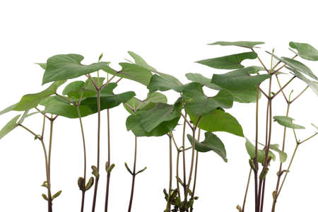 Before cultivated bean plants on white background.