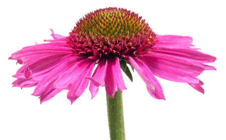 Violet flower of Echinacea on white background. 免版税图像