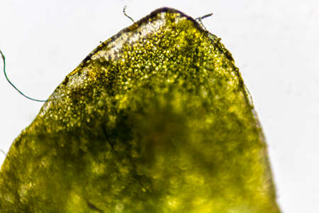 Microscopic image of a leaf of the water lens.