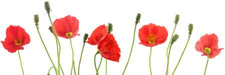 Poppy of red poppy on white background.