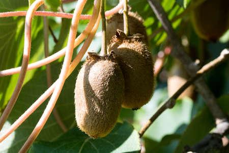 Ripe kiwi on the plant.