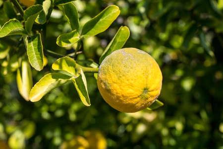 A ripe lemon at the lemon plant. 免版税图像