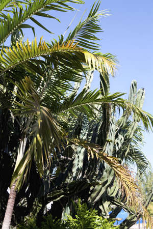 coconuts on the palm tree and a blue sky